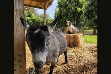 FacebookCEO扎克伯格给宠物羊取名比特币