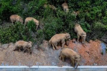 云南大象一路象北是因为天太热去避暑吗